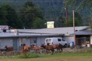 Several moose in front of the Packwood motel